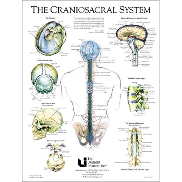 cranisacral-system